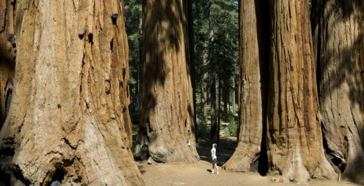 Giant Sequoia's, California